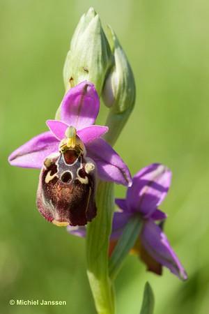 Ophrys episcopalis - Bisschopsophrys - Bishop's Ophrys