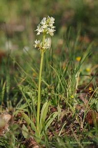 Dactylorhiza markusii (syn.: Dactylorhiza romana) - Markus' dactylorhiza