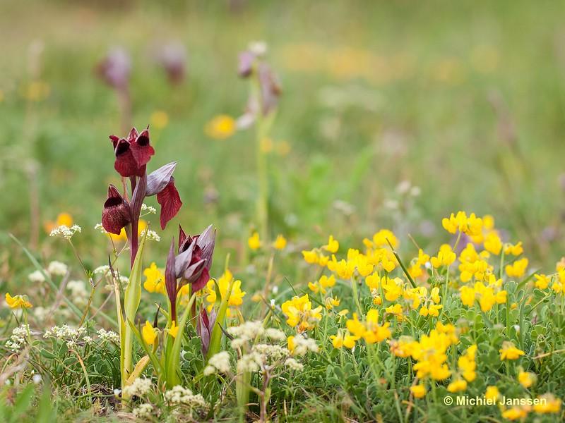 Serapias cordigera - Brede tongorchis - Heart-flowered serapias - Serapias en corazón