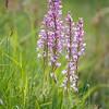 Orchis militaris - Soldaatje - Military Orchid - Orquídea militar