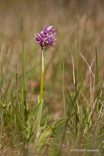 Orchis simia - Aapjesorchis - Monkey Orchid - Orquídea mono