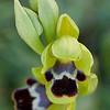 Ophrys vasconica - Baskische ophrys