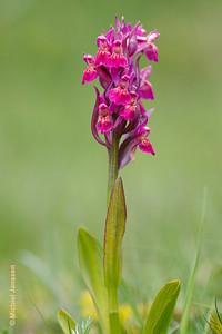 Dactylorhiza sambucina - Vlierorchis - Elder-flowered orchid - Orquídea sáuco