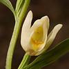 Cephalanthera damasonium - Bleek bosvogeltje - White Helleborine - Epipacte blanca