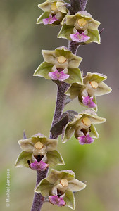 Epipactis kleinii - Small-flowered helleborine