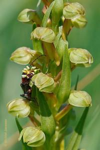 Dactylorhiza viridis - Groene nachtorchis - Frog Orchid - Orquídea de la rana