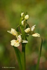 Dactylorhiza insularis - Sardeinse orchis - Barton's orchid - Orquídea pálida