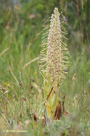Himantoglossum hircinum - Bokkenorchis - Lizard orchid - Orquídea del lagarto