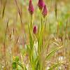 Anacamptis pyramidalis - Hondskruid - Pyramidal orchid - Orquídea piramidal