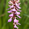 Barlia metlesicsiana - Tenerife reuzenorchis - Tenerife Giant orchid - Orquídea de Tenerife