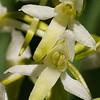 Platanthera bifolia - Welriekende nachtorchis - Lesser Butterfly-orchid -  Satirión blanco de dos hojas