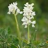 Orchis olbiensis - Kleine mannetjesorchis - Olbia orchis