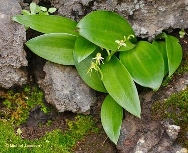 Habenaria tridactylites - Three-lobed Habenaria - Orquídea de tres dedos