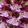Orchis purpurea - Purperorchis - Lady Orchid - Orquídea de dama