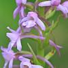 Gymnadenia conopsea - Grote muggenorchis - Fragrant Orchid - Orquídea fragante