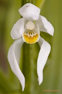 Cephalanthera longifolia - Wit bosvogeltje - Sword-leaved Helleborine - Orquídea de hojas largas