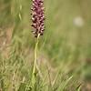 Anacamptis fragrans - Welriekende wantsenorchis - Fragrant bug orchid - Abellera olorosa