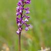 Anacamptis morio subsp. picta - Harlekijn - Green-winged orchid - Amor de dama