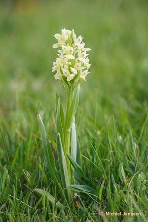 Dactylorhiza insularis - Barton's Orchid - Orquídea pálida