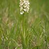 Orchis purpurea f. alba - Purperorchis - Lady orchid - Orquídea de dama