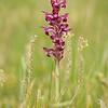 Anacamptis coriophora var. carpetana - Wantsenorchis - Bug orchid - Olor de chinches