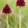 Gymnadenia austriaca var. gallica - Vanilleorchis - Vanilla Orchid