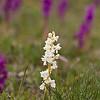 Ophrys mascula f. alba - Mannetjesorchis - Early purple orchid - Satirión macho