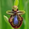 Ophrys speculum - Spiegelophrys - Mirror Ophrys - Orquídea abeja espejo
