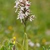 Neotinea conica - Kegelorchis - Conical orchid - Orquídea cónica