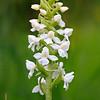 Gymnadenia conopsea f. alba - Grote muggenorchis - Fragrant Orchid (white variant) - Orquídea fragante