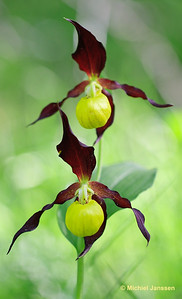 Cypripedium calceolus - Vrouwenschoentje - Lady's-slipper Orchid - Zueco de dama