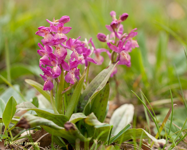 Orchis provincialis var. rubra - Stippelorchis - Provence orchid