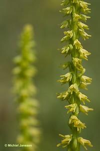 Herminium monorchis - Honingorchis - Musk orchid