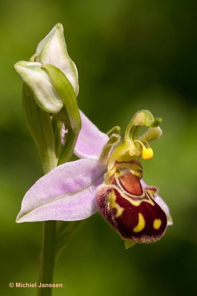 Ophrys apifera var. aurita Hudson (1762) - Bijenorchis - Bee orchid - Orquídea abeja