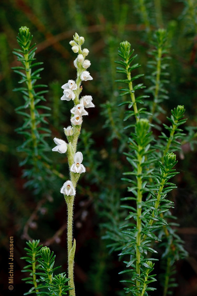 Goodyera repens - Dennenorchis - Creeping lady's-tresses