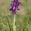Anacamptis morio - Harlekijnorchis - Green-winged orchid - Amor de dama