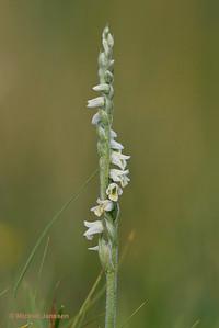 Spiranthes spiralis - Herfstschroeforchis - Autumn lady's-tresses - Espirante de otoño
