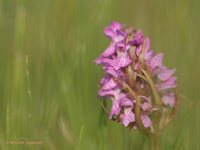Dactylorhiza majalis subsp. praetermissa - Gewone rietorchis - Southern marsh-orchid - Orquídea de marzo leopardo
