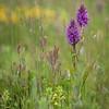 Dactylorhiza praetermissa subsp. junialis - Gevlekte rietorchis - Leopard marsh-orchid - Orquídea de marzo leopardo