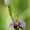 Ophrys apifera (Hudson, 1762) var. aurita - Bijenorchis - Bee orchid - Orquídea abeja