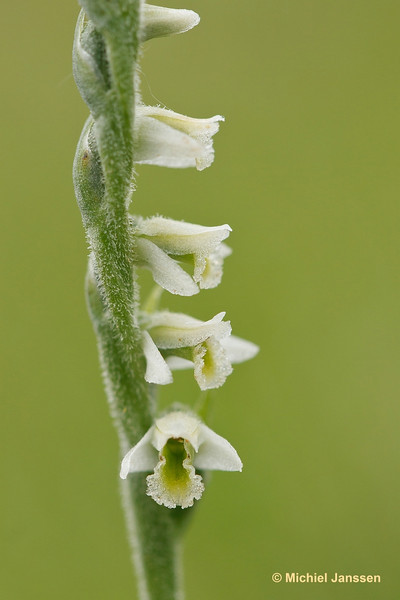 Spiranthes spiralis - Herfstschroeforchis - Autumn lady's-tresses