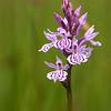 Dactylorhiza maculata - Gevlekte orchis - Heath spotted-orchid - Orquídea moteada de los pantanos