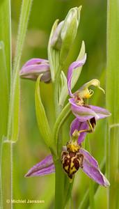 Ophrys apifera (Hudson, 1762) var. trollii - Bijenorchis - Bee orchid - Orquídea abeja