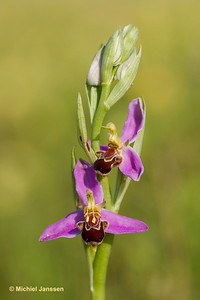 Ophrys apifera Hudson (1762) - Bijenorchis - Bee orchid - Orquídea abeja