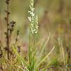 Spiranthes cernua × odorata - Knikkende schroeforchis × Welriekende schroeforchis - Nodding lady's-tresses × Fragrant lady's-tresses