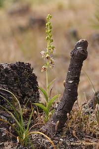 Epipactis helleborine subsp. neerlandica - Duinwespenorchis - Dutch helleborine
