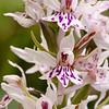 Dactylorhiza fuchsii - Bosorchis - Common spotted-orchid - Orquídea común moteada