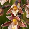 Epipactis palustris - Moeraswespenorchis - Marsh helleborine - Heleborine de los pantanos