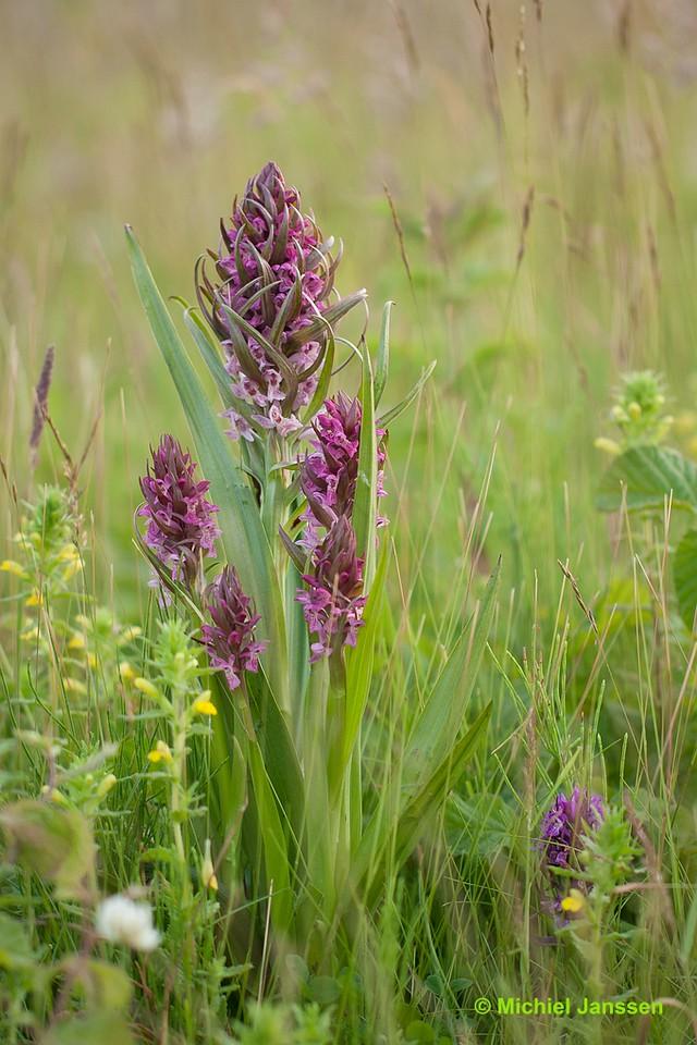 Dactylorhiza incarnata - Vleeskleurige orchis - Early marsh-orchid - Dactylorhiza encarnada