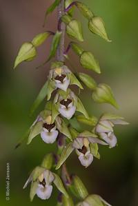 Epipactis helleborine - Brede wespenorchis - Broad-leaved helleborine - Heleborina de hojas anchas